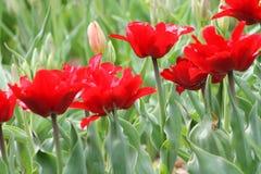 Blomma färgrika tulpan Royaltyfri Bild