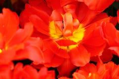 Blomma färgrika tulpan Arkivfoton