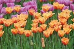 Blomma färgrika tulpan Arkivbild