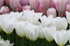 Blomma färgrika tulpan Royaltyfria Bilder