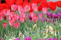 Blomma färgrika tulpan Fotografering för Bildbyråer