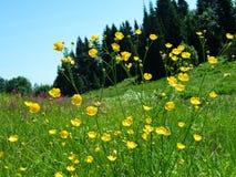 Blomma för äng för Ranunculusbulbosus gemensam Royaltyfri Bild