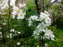 blomma för äpple royaltyfria bilder
