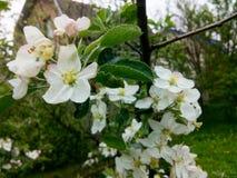 blomma för äpple royaltyfri fotografi