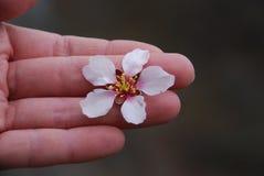Blomma för äpple för kvinnahand rosa royaltyfria foton