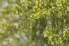 Blomma för örhängen av aspen i solljuset Fotografering för Bildbyråer