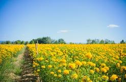 Blomma för afrikansk ringblomma i lantgård Arkivbilder