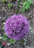 Blomma för AlliumGiganteum AKA jätte- lök Arkivbild
