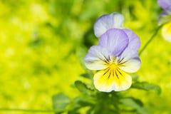Blomma för altfiolpurpleandguling i trädgård Arkivbild