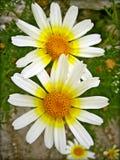 Blomma för Anthemisarvensismakro i blomningbakgrund och tapeter i bästa högkvalitativa tryck arkivfoton