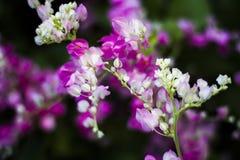 Blomma för Antigonon leptopuskrok Arkivfoto