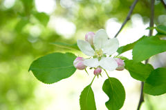Blomma för Apple träd royaltyfria foton