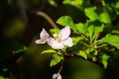 Blomma för Apple träd royaltyfri foto