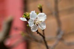 Blomma för aprikos Arkivbilder