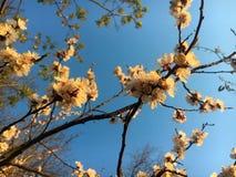 Blomma för aprikosträd i vår Arkivbild
