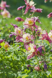 blomma för aquilegia Arkivfoto