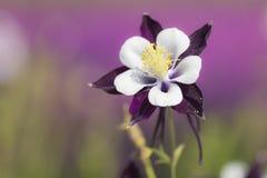 blomma för aquilegia Arkivbilder