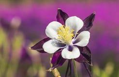blomma för aquilegia Royaltyfria Foton