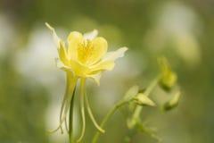 blomma för aquilegia Arkivbild