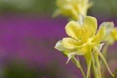 blomma för aquilegia Fotografering för Bildbyråer