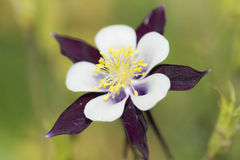 blomma för aquilegia Royaltyfria Bilder