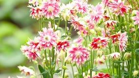 Blomma för Aquilegia blomma arkivfilmer
