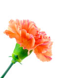 blomma för bakgrundsblurnejlika ingen white Royaltyfria Bilder