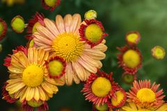 blomma för bakgrundsdesignelement Royaltyfria Bilder