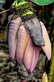 Blomma för bananträd royaltyfri foto