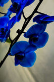 Blomma för blå orkidé royaltyfria bilder