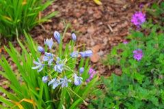 Blomma för blå stjärna Fotografering för Bildbyråer