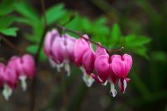 Blomma för blödande hjärta (Dicentraspectabilis) Arkivfoto