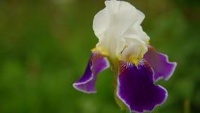 Blomma för blommairis lager videofilmer