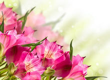 Blomma för blommor för rosa lilja blomma Royaltyfri Bild