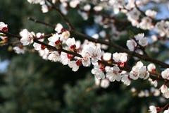 Blomma för blomning för aprikosträd Arkivbilder