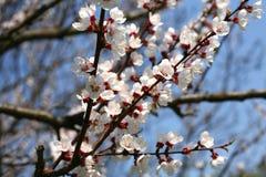 Blomma för blomning för aprikosträd Royaltyfri Fotografi
