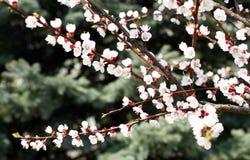 Blomma för blomning för aprikosträd Fotografering för Bildbyråer