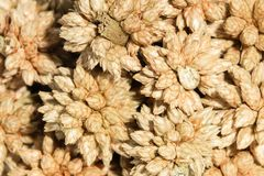 Blomma för boll för makrobrunt som torr spetsig isoleras på vit bakgrund Royaltyfri Fotografi