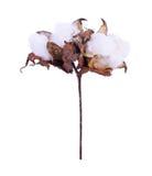 Blomma för bomullsväxt som isoleras på en vit bakgrund Royaltyfri Bild