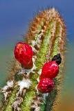 Blomma för brasilianCerrado kaktus arkivfoton