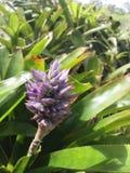 Blomma för bromelior Arkivbild