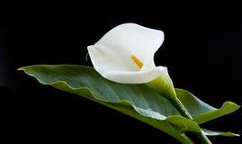 Blomma för Callalilja arkivbilder