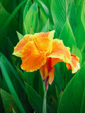 Blomma för Canna lilja Royaltyfri Foto