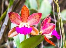 Blomma för Cattleya orkidé fotografering för bildbyråer