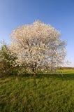 Blomma för Cherrytree Royaltyfri Bild