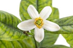 Blomma för citronträd royaltyfri bild