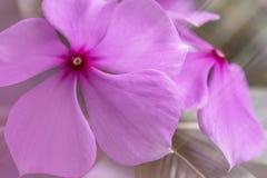 Blomma för CloseupCatharanthusroseus arkivfoton