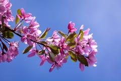 Blomma för Crabapple träd Arkivbilder
