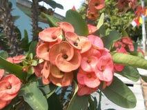 Blomma för Euphorbiamiliirosa färger Arkivbilder