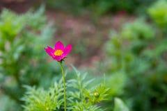 Blomma för färgpulversvavelkosmos arkivfoto